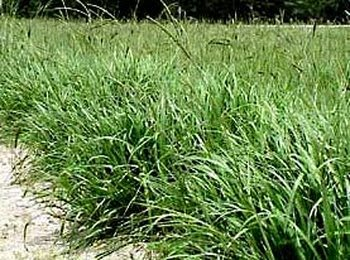 how to grow bahia grass from seed in florida