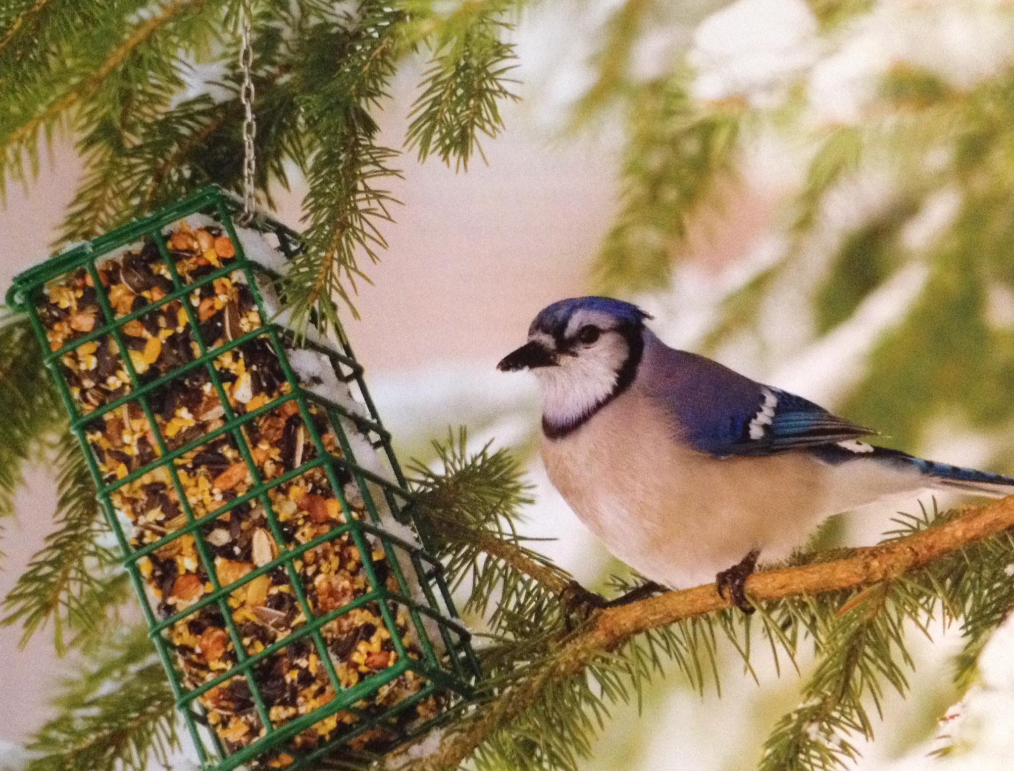feeding wild birds steinhauser u0027s