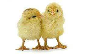 chicks :: Steinhauser's