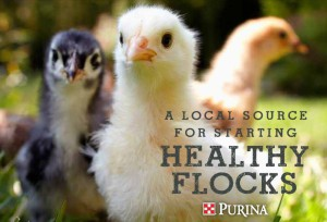 Steinhauser's Magnolia Chick Deliveries