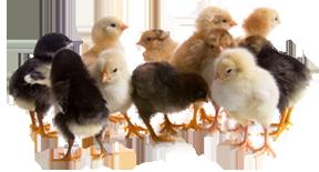 2021 Magnolia Chick Fall Deliveries